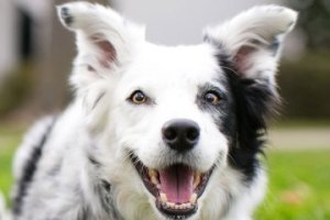 "Chaser, the 9-year old border Collie is dubbed as ""the  most important dog in over a century."
